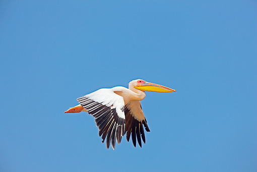 BRD 22 JE0006 01 © Kimball Stock White Pelican Flying In Blue Sky Africa