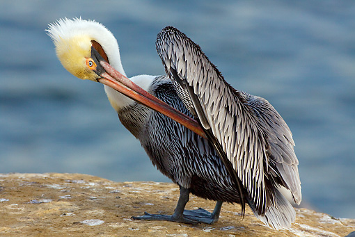 BRD 22 LS0005 01 © Kimball Stock California Brown Pelican Preening On Rocky Cliffs Above Pacific Ocean