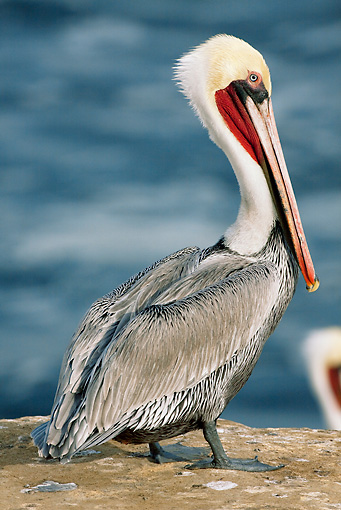 BRD 22 LS0006 01 © Kimball Stock California Brown Pelican Standing On Rocky Cliffs Above Pacific Ocean