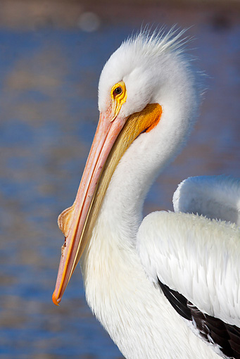 BRD 22 LS0008 01 © Kimball Stock Portrait Of American White Pelican Sitting By Lake