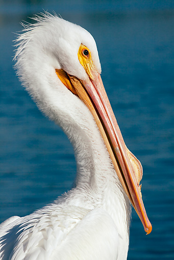 BRD 22 LS0009 01 © Kimball Stock Portrait Of American White Pelican Sitting By Lake