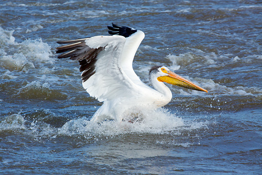 BRD 22 LS0010 01 © Kimball Stock American White Pelican In Faded Breeding Plumage Catching Fish