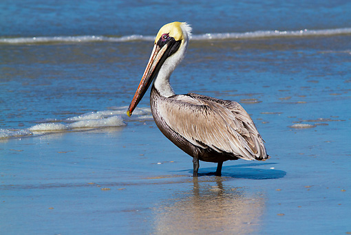 BRD 22 LS0011 01 © Kimball Stock Eastern Brown Pelican In Breeding Plumage Standing At Edge Of Surf Pinellas County, Florida