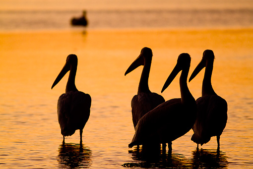 BRD 22 LS0013 01 © Kimball Stock Silhouette Of American White Pelicans Standing On Tidal Bay At Dawn Manatee County, Florida