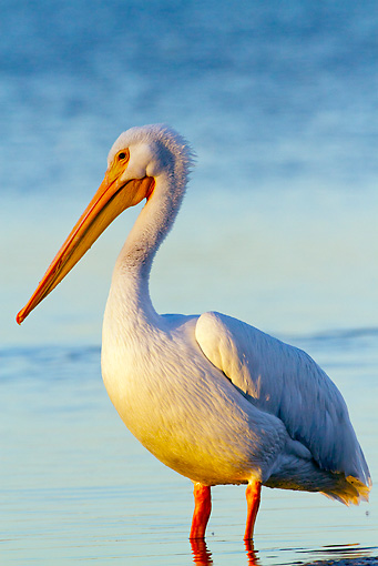 BRD 22 LS0014 01 © Kimball Stock American White Pelican Standing In Shallow Water Manatee County, Florida