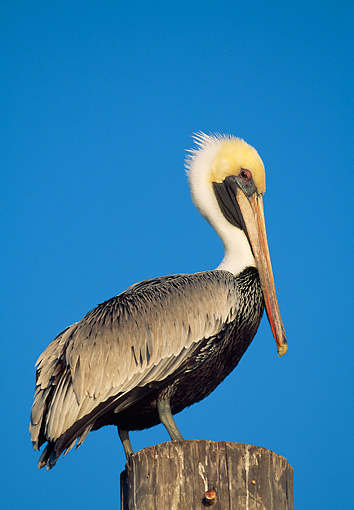 BRD 22 LS0015 01 © Kimball Stock Eastern Brown Pelican Perched On Post Florida