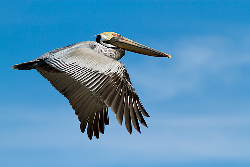 BRD 22 LS0017 01 © Kimball Stock Eastern Brown Pelican In Flight Over Gulf Of Mexico At Indian Rocks Beach, Florida