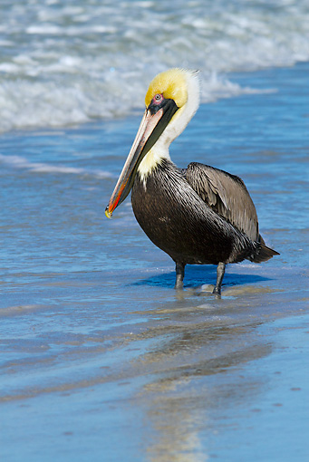 BRD 22 LS0018 01 © Kimball Stock Eastern Brown Pelican Loafing At Seashore In Gulf Of Mexico At Indian Rocks Beach, Florida