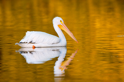 BRD 22 LS0019 01 © Kimball Stock American White Pelican In Winter Plumage Swimming In Sheltered Cove Florida