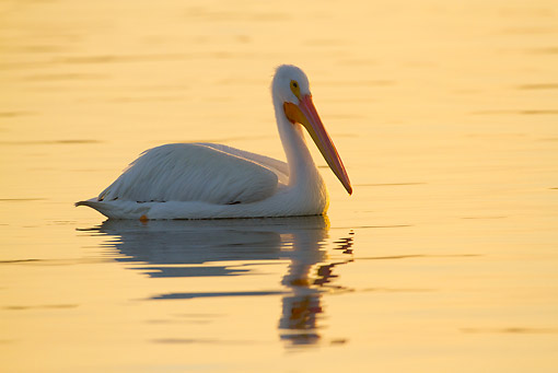 BRD 22 LS0022 01 © Kimball Stock American White Pelican In Non-Breeding Plumage Wading In Tidal Bay Florida