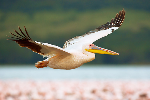 BRD 22 MC0001 01 © Kimball Stock Great White Pelican Flying Over Lake Nakuru National Park Kenya