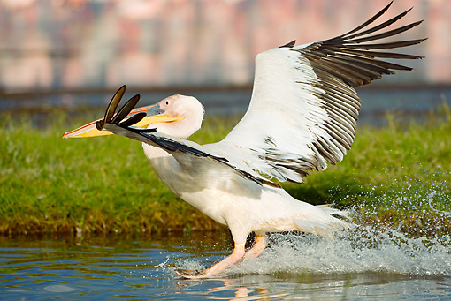 BRD 22 MC0002 01 © Kimball Stock Great White Pelican Taking Off From Lake Kenya