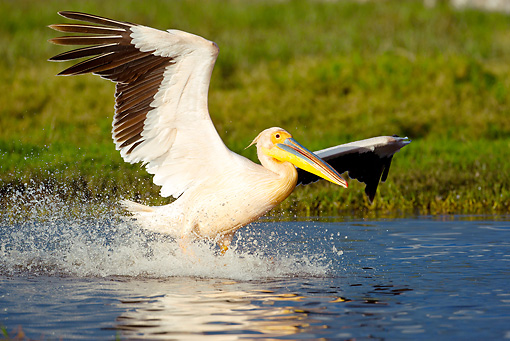 BRD 22 MC0003 01 © Kimball Stock Great White Pelican Taking Off From Lake Kenya