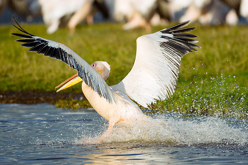 BRD 22 MC0004 01 © Kimball Stock Great White Pelican Taking Off From Lake Kenya
