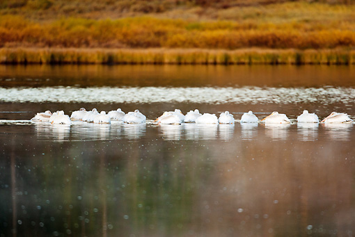 BRD 22 MC0006 01 © Kimball Stock Flock Of American White Pelicans Roosting On Lake Yellowstone National Park
