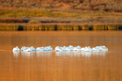 BRD 22 MC0007 01 © Kimball Stock Flock Of American White Pelicans Roosting On Lake Yellowstone National Park