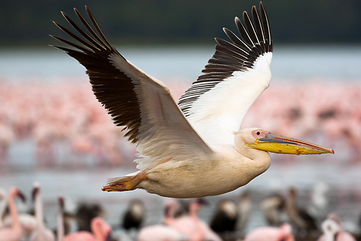 BRD 22 MC0008 01 © Kimball Stock Great White Pelican Flying Over Lake With Flamingos In Background Kenya