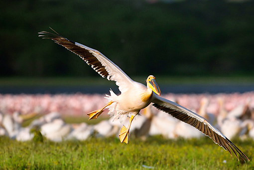 BRD 22 MC0009 01 © Kimball Stock Great White Pelican Flying Over Lake With Flamingos In Background Kenya