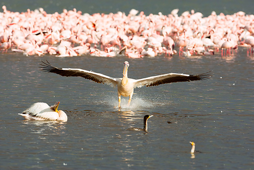 BRD 22 MC0012 01 © Kimball Stock Great White Pelican Landing In Lake Nakuru By Flamingos Kenya