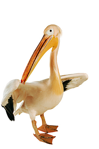 BRD 22 MH0001 01 © Kimball Stock White Pelican In Studio