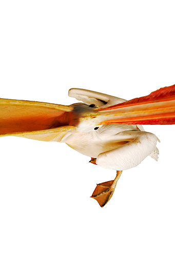 BRD 22 MH0003 01 © Kimball Stock Overhead View Looking Down Into Open Mouth Of White Pelican In Studio