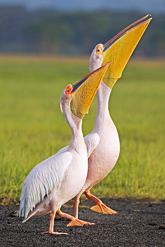 BRD 22 MH0004 01 © Kimball Stock Two White Pelicans Standing And Looking Up