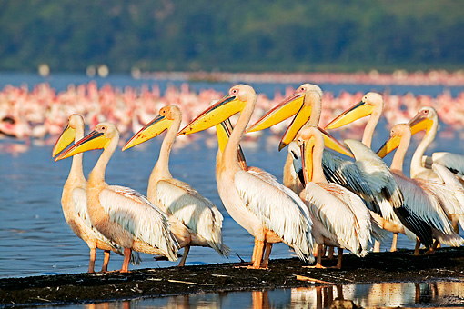 BRD 22 MH0005 01 © Kimball Stock Group Of White Pelicans Standing By Lake