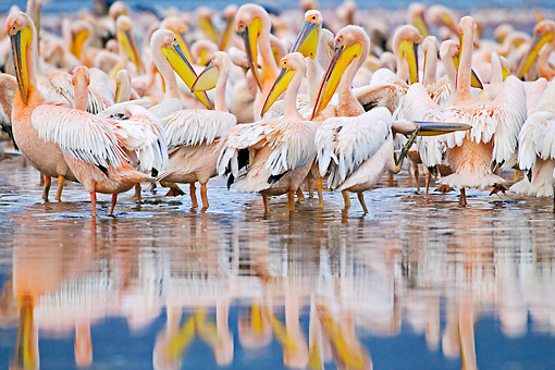 BRD 22 MH0007 01 © Kimball Stock Rear View Of White Pelicans Standing In Lake Preening