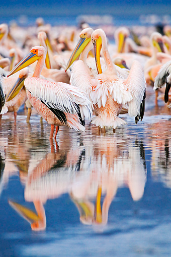 BRD 22 MH0008 01 © Kimball Stock Rear View Of White Pelicans Standing In Lake Preening
