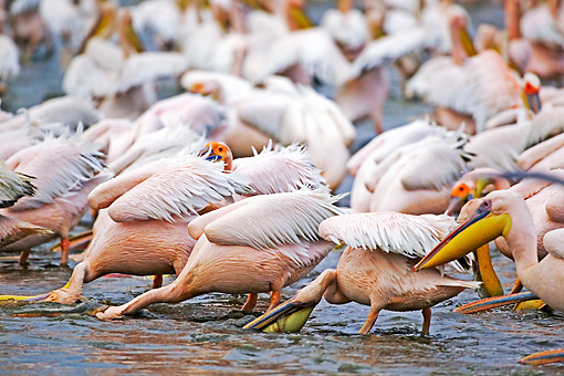 BRD 22 MH0009 01 © Kimball Stock Group Of White Pelicans Standing In Lake Feeding
