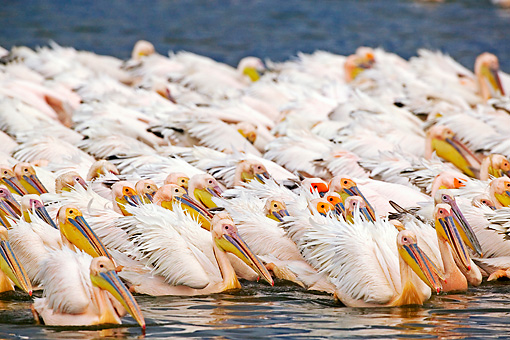 BRD 22 MH0010 01 © Kimball Stock Group Of White Pelicans In Lake Feeding