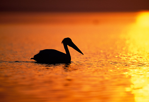 BRD 22 MH0012 01 © Kimball Stock Silhouette Of White Pelican Wading On Water At Sunset Ethiopia