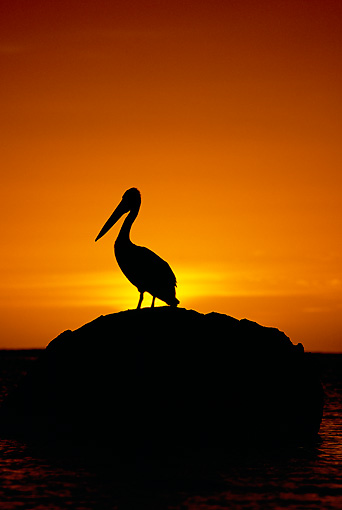 BRD 22 MH0013 01 © Kimball Stock Silhouette Of Australian Pelican Standing On Rock At Sunset