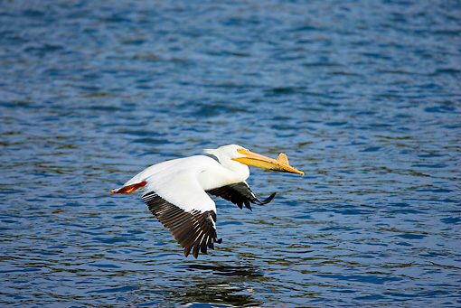 BRD 22 RF0002 01 © Kimball Stock American White Pelican Flying Over Water