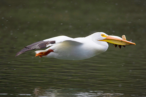 BRD 22 RF0003 01 © Kimball Stock American White Pelican Flying Over Water