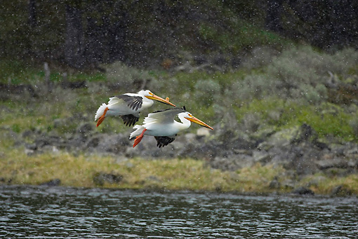 BRD 22 RF0004 01 © Kimball Stock Two American White Pelicans Flying Over Water