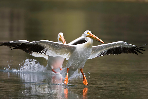 BRD 22 RF0005 01 © Kimball Stock Two American White Pelicans Landing In Water