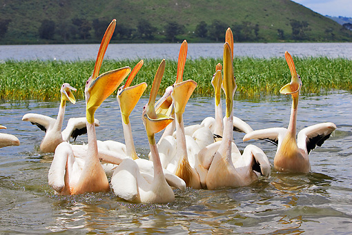 BRD 22 WF0005 01 © Kimball Stock Group Of White Pelicans On Water Begging For Fish