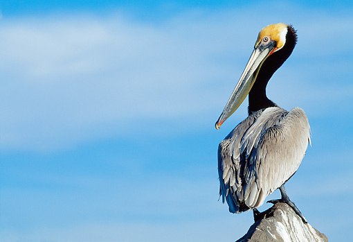 BRD 22 WF0006 01 © Kimball Stock Brown Pelican Standing On Post Against Blue Sky