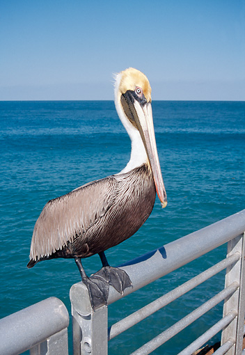 BRD 22 WF0007 01 © Kimball Stock Brown Pelican Standing On Metal Rail By Water