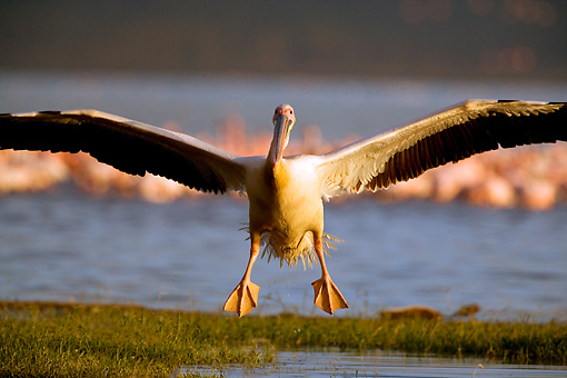 BRD 22 JZ0004 01 © Kimball Stock White Pelican Landing On Grass By Marsh Kenya