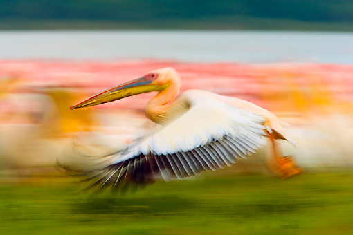 BRD 22 JZ0005 01 © Kimball Stock White Pelican Flying Low By Marsh Kenya