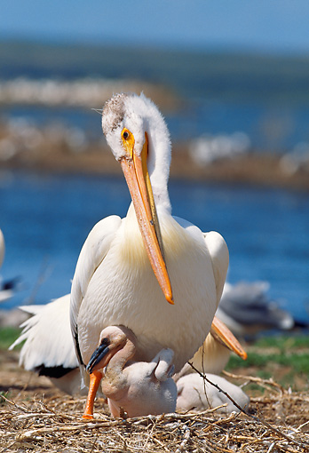 BRD 22 LS0001 01 © Kimball Stock American White Pelican Caring For Chick Montana