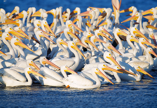 BRD 22 LS0002 01 © Kimball Stock Flock Of American White Pelicans Swimming Florida