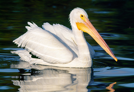 BRD 22 LS0003 01 © Kimball Stock American White Pelican Swimming Florida