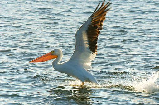 BRD 22 NE0002 01 © Kimball Stock American White Pelican Taking Off From Water Profile