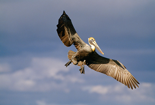 BRD 22 RF0001 01 © Kimball Stock Brown Pelican Flying Clouds