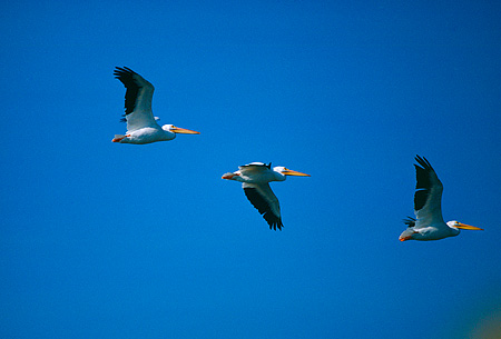 BRD 22 RK0014 04 © Kimball Stock A Flock Of Pelicans In Flight Blue Sky