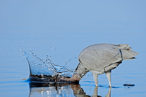 BRD 23 AC0017 01 © Kimball Stock Little Blue Heron Fishing In Water At Myakka River State Park, Florida