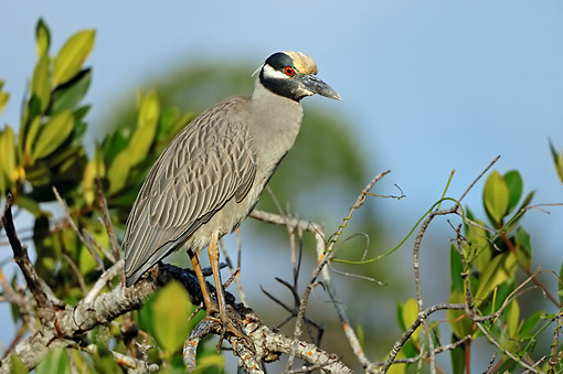 BRD 23 AC0018 01 © Kimball Stock Yellow-Crowned Night Heron (Also Called American Night Heron Or Squawk) Perching In Tree On Sanibel Island, Florida, USA